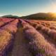 SUNRISE AT THE LAVENDER FIELD - Schöne Landschaft Bilder kaufen | Stimmungs Foto als Fineart by Stefan Somogyi Fotografie